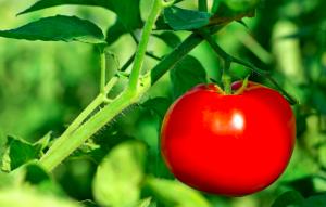 The Water-Wise Tomato Gardener