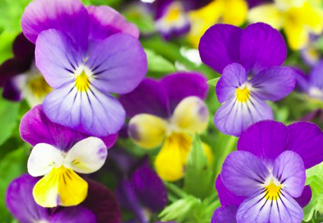Pansies! A Great Way to Bring in Spring!