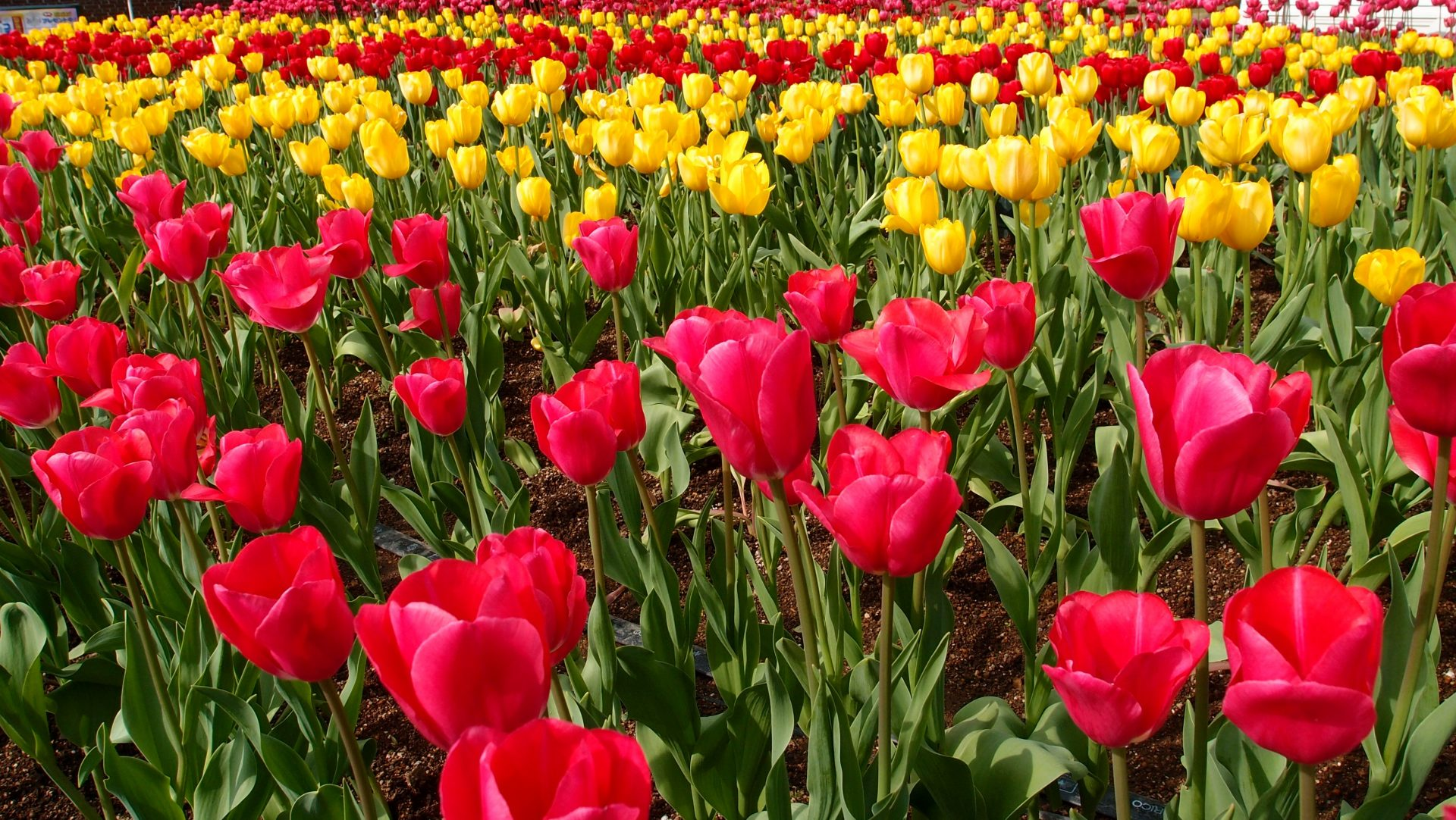 Fine Tuning Your Tulips!