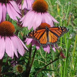 Attracting Pollinators