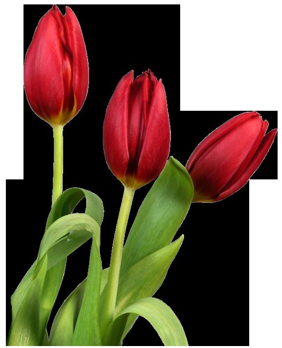 purepng.com-tuliptuliptulip-flowerbellflowercampanula-1701527750255zvfav