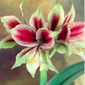 You Need Amaryllis This Holiday Season