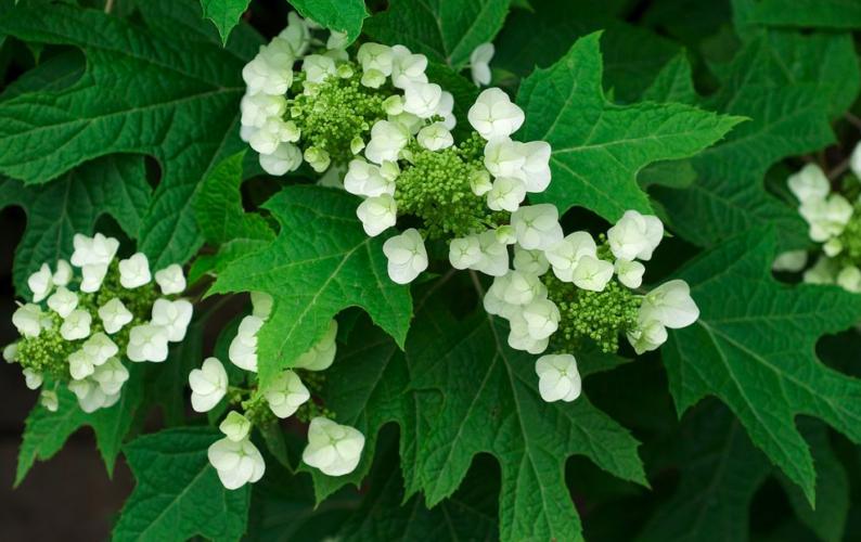 Hydrangeas: To Prune or Not to Prune?