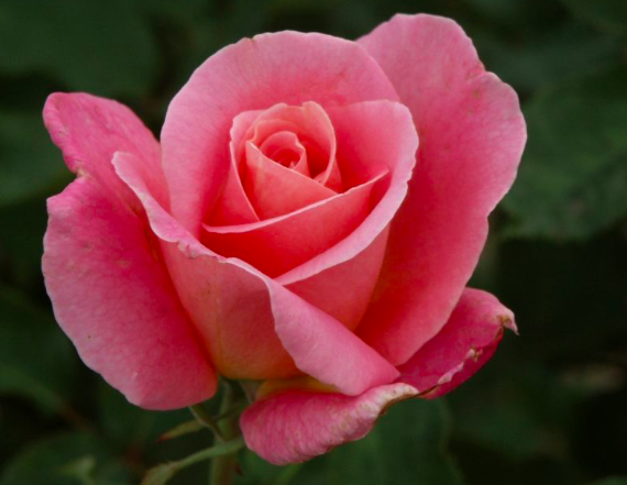 Spring Tips for Roses