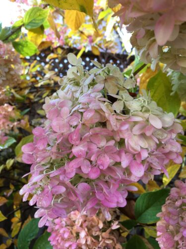 How to Dry Hydrangea Blooms